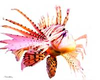 Lion Fish Number One