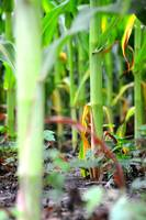 Distant Corn Stalk