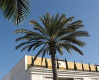 Beverly Hills Palms Trees