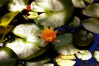 FLOWERING LILY PAD