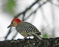 Red-Bellied Wood Pecker