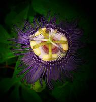 Passion Flower 1_filtered
