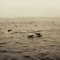 A Pod of Dolphins by Eileen Ringwald