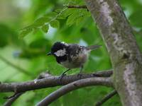 Coal tit - crop