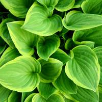 Hosta Yellow