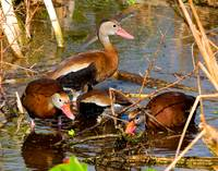 Blackbelly Whistling Ducks Feeding #2