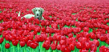 dogintulips_copyrightphoto_ChristopherBoswell