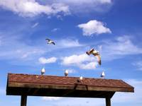 Seagulls on a hot, shingle roof