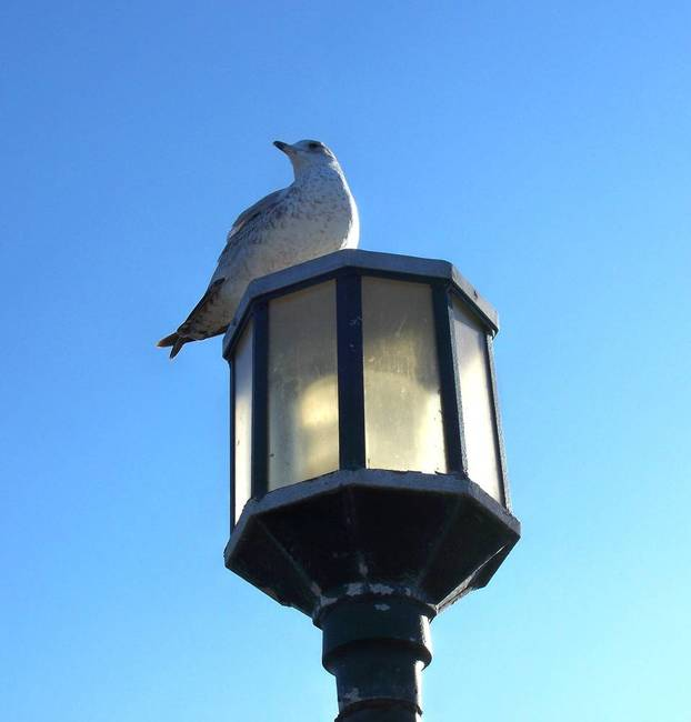 Seagull on a Lamp
