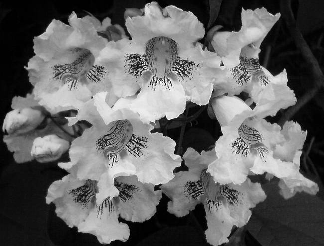 blackwhiteflowers