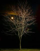 Stark Tree under a Solstice Moon