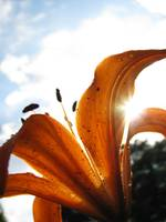 Close Up Orange Lily In Sunlight