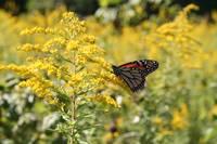 Monarch Butterfly (IMG_0173) by Jeff VanDyke