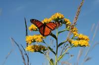 Monarch Butterfly (IMG_0207) by Jeff VanDyke