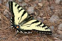 Tiger Swallowtail (IMG_3834) by Jeff VanDyke