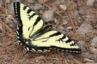 Tiger Swallowtail (IMG_3834) by Jeff VanDyke