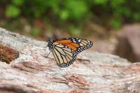 Monarch Butterfly (IMG_3932) by Jeff VanDyke