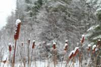 Cattails In Snow (IMG_0837) by Jeff VanDyke