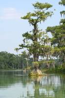 Cypress Tree (IMG_1652) by Jeff VanDyke