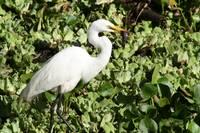 Great Egret (IMG_1336) by Jeff VanDyke