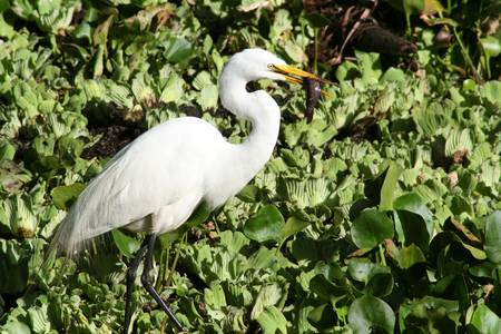 Great Egret (IMG_1336)