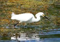 Snowy Egret (IMG_1634a) by Jeff VanDyke