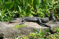 Alligator (IMG_1644) by Jeff VanDyke