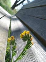 Fiddleneck Bench