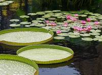 Water Platters and Lilies