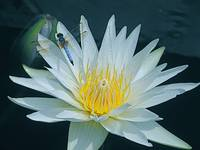 Dragonfly on Water Lily 1