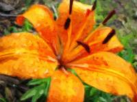 Orange Lily After The Rain