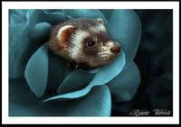 ferret in blue rose