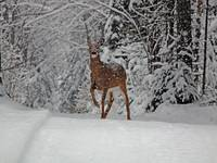 Doe in trail
