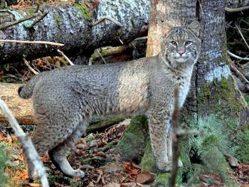 Maine Bobcat By Gail Smith