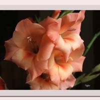 Gladiola Art Prints & Posters by Nyles McNierney