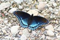 Red-Spotted Purple (IMG_4269) by Jeff VanDyke