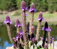 Arizona Wildflower - New Mexican Vervain