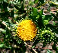 Arizona Wildflower - Rayless Gumweed