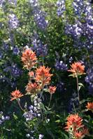 Lupines and Indian Paintbrush