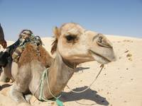 Camel in Tunisia
