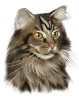 Black Tabby Maine Coon Cat