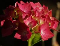 Pink Hydrangea in the Light