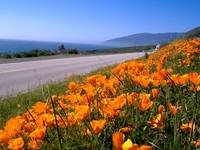 Poppies on Highway