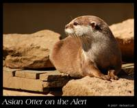 Asian Otter on the Alert