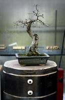 Bonsai on Kiln