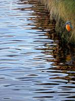 Kingfisher reflections