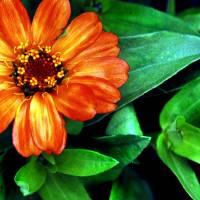 orange flower Art Prints & Posters by Lori Botelho