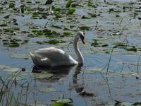 Mute Swan in Shadow