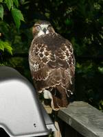 Third Eyelid - Red-tailed Hawk