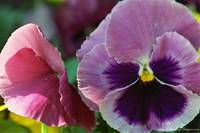 Pansy 072_3A